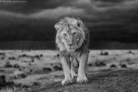 Male lion in low light, Masai Mara