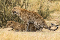 Mating leopards, Masai Mara