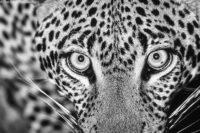 Young male leopard at night, Tsavo