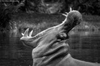 Male hippo yawning, Masai Mara