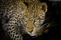 Young male leopard at night, Tsavo