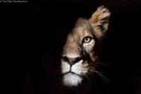 Lioness peering through the darkness, Tsavo