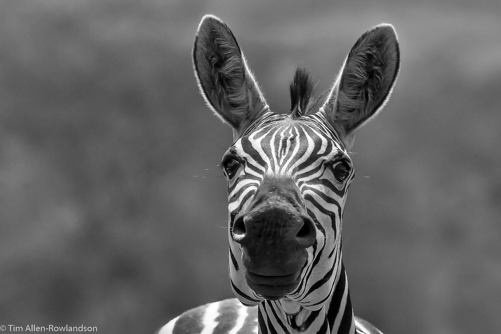 Zebra portrait, Tsavo