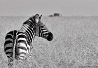 Lone zebra, Masai Mara