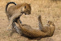 Leopards mating, Masai Mara