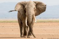 Approaching bull elephant, Amboseli