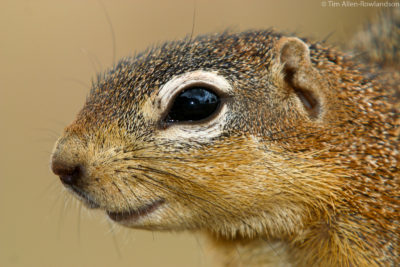 Ground squirrel close-up portrait, Tsavo