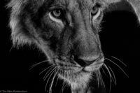 Young male lion at night, Tsavo