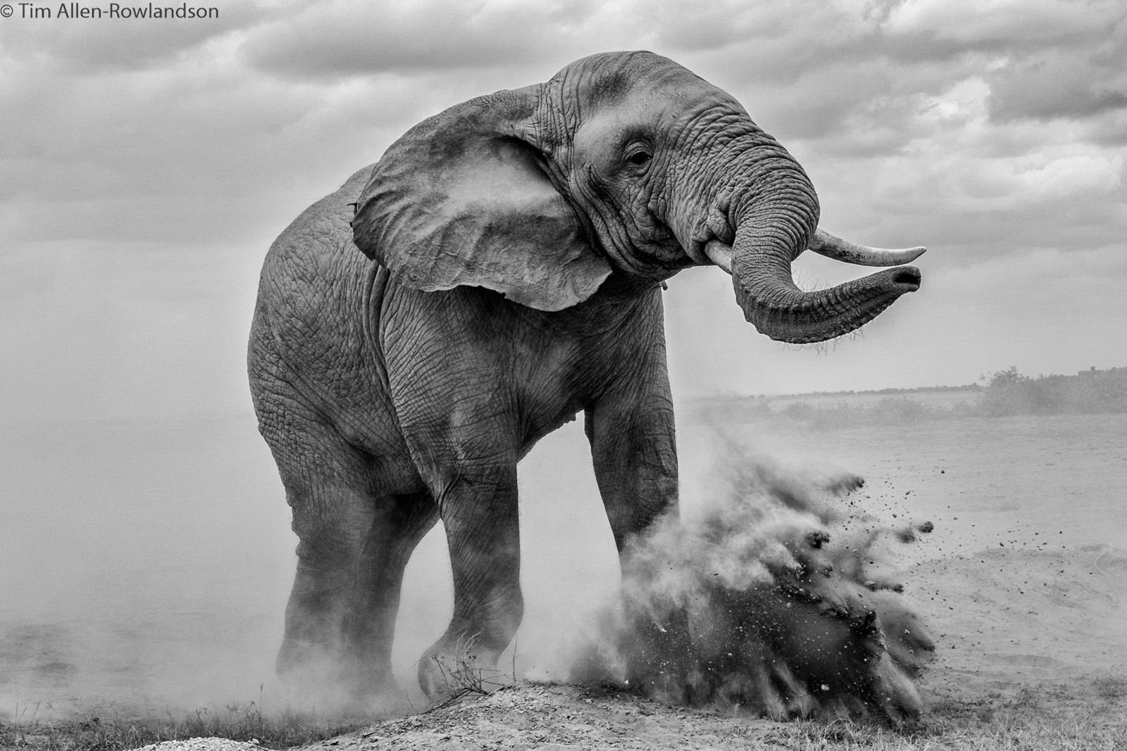 Bull elephant making his presence known, Amboseli