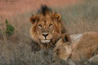 Courting lions, Tsavo