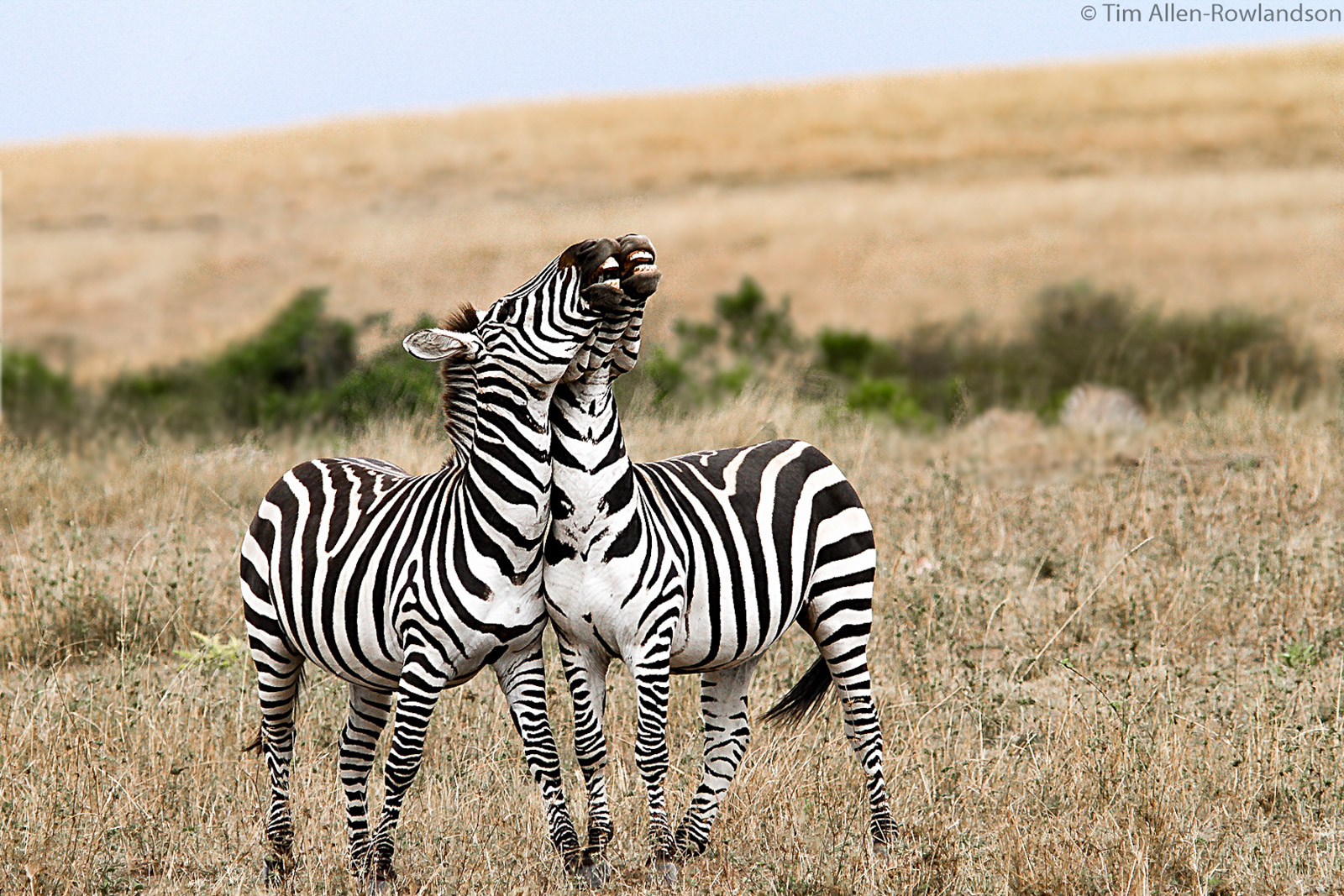 Two zebras sparring, Masai Mara