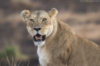 Senior lioness, Masai Mara