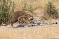 Female leopard initiating mating, Masai Mara