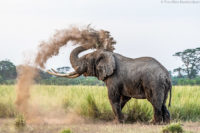 Bull elephant dusting, Amboseli