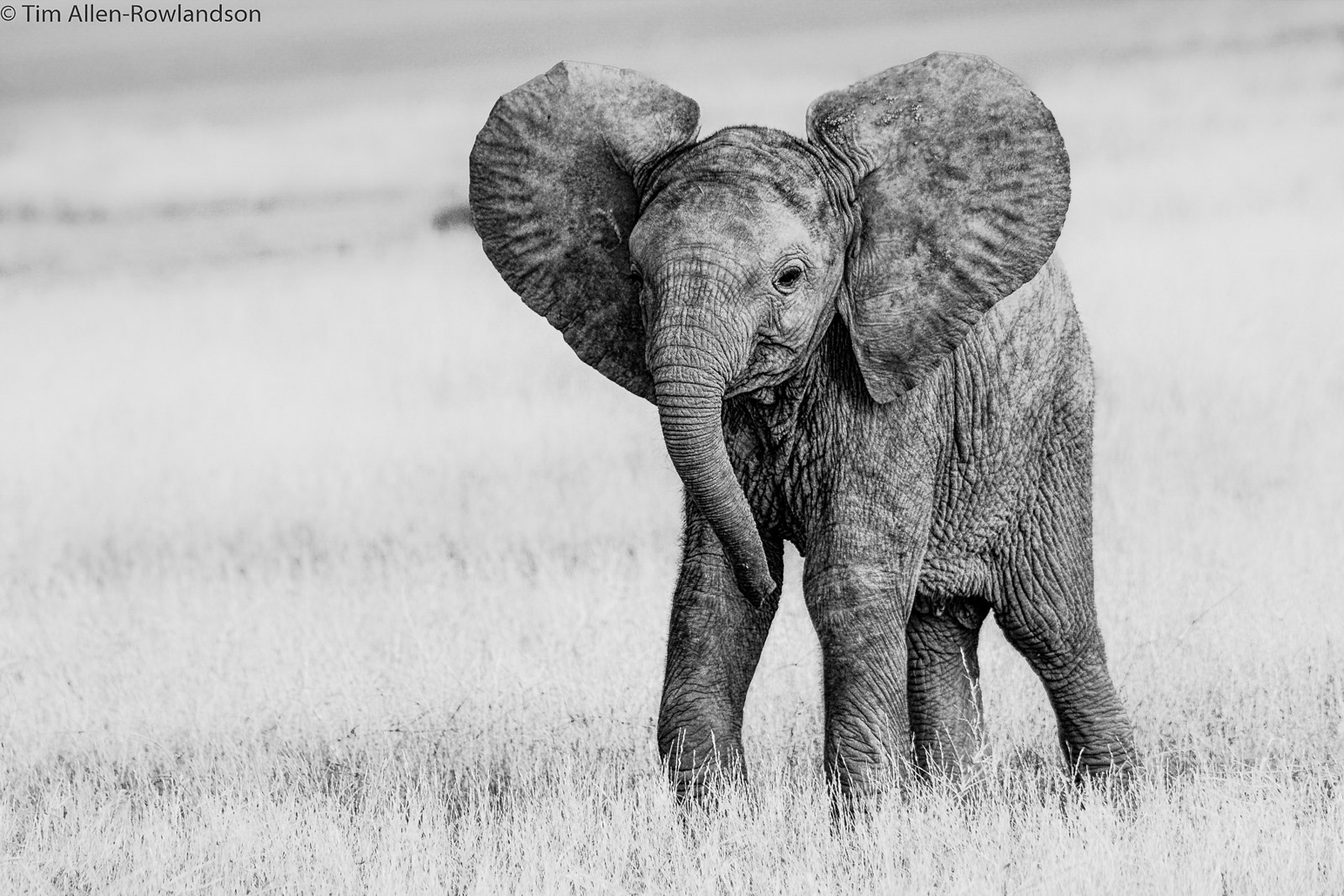 Young elephant calf, Amboseli