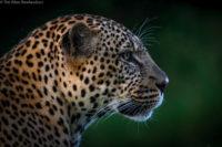 Male leopard at dusk, Masai Mara