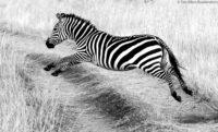 Zebra leaping across a track, Masai Mara