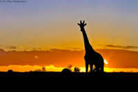 Giraffe at dusk, Tsavo