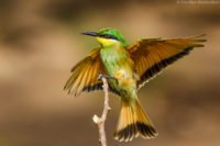Little bee-eater, Masai Mara