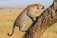 Male leopard returning to a stashed kill, Masai Mara