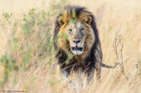 Male lion approaching through the grass, Masai Mara