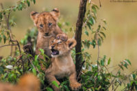 Cubs playing, Masai Mara