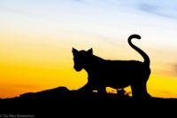 Lion cub at sunset, Masai Mara