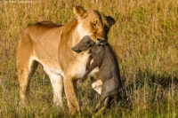 Lioness with young warthog - the pride individually killed all five youngsters within two minutes - but the parents managed to escape, Masai Mara