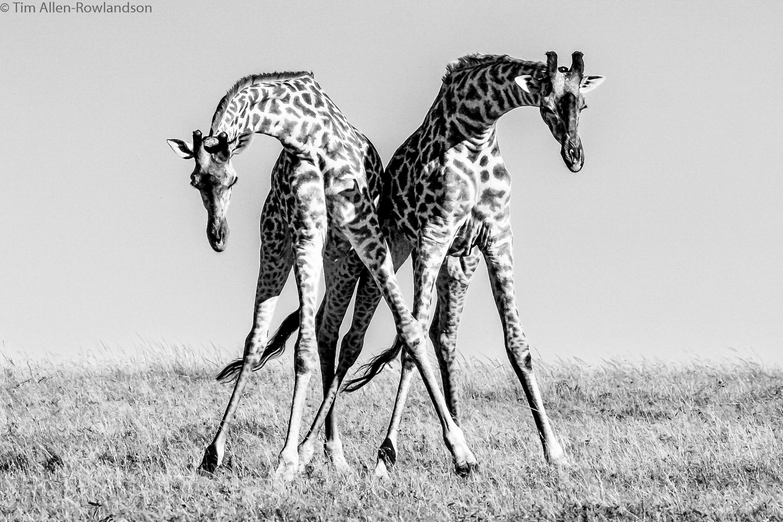 A pair of male giraffe necking (sparring), Masai Mara