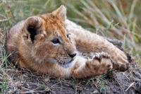 Young lion flexing, Masai Mara