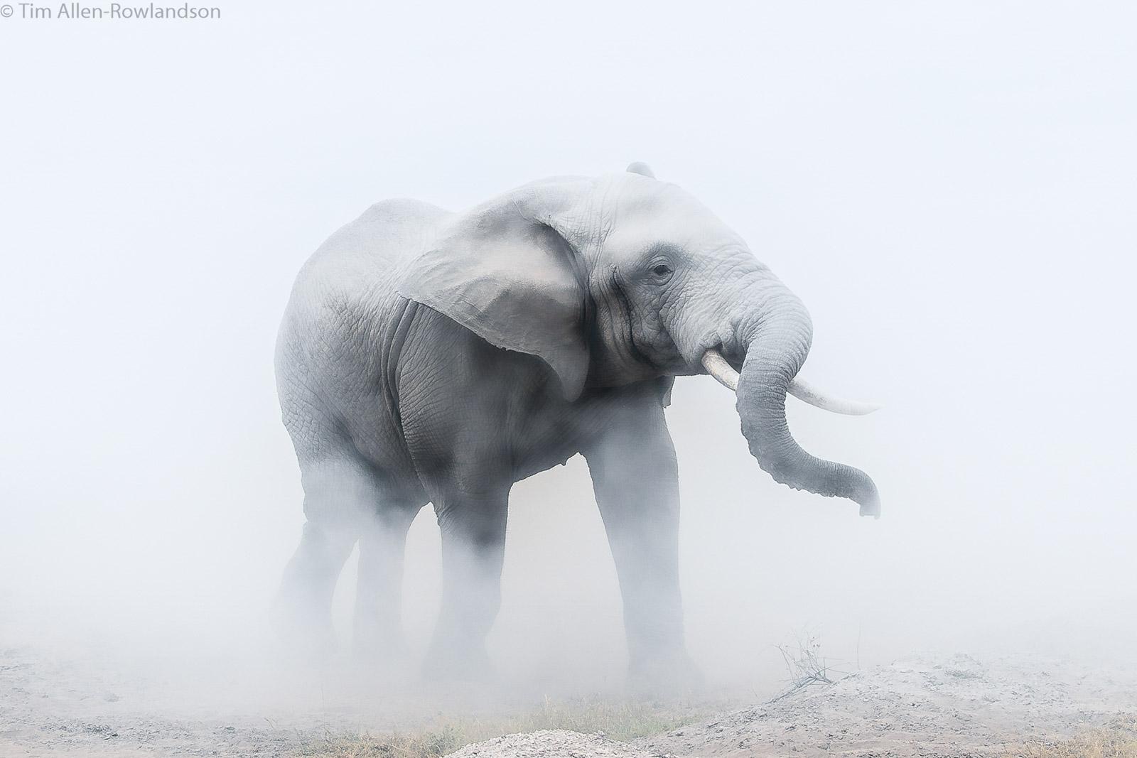 Last member of a herd of elephants, clouded in fine dust, Amboseli