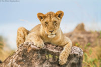 Young lion on a small rock, Masai Mara