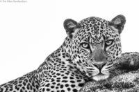 Resting male leopard, Masai Mara
