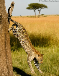 Male leopard descending from tree, Masai Mara