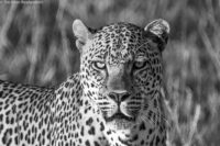 Male leopard staring, Masai Mara
