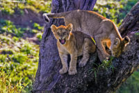 These two cubs eventually found their way back down this tree growing on a steep bank, Masai Mara