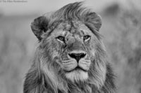 Male lion listening, and looking in the direction of, distant roars, Masai Mara