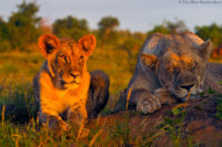 Lioness and young male resting in the late aftertnoon, Tsavo