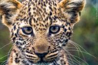 Young curious leopard cub, Masai Mara