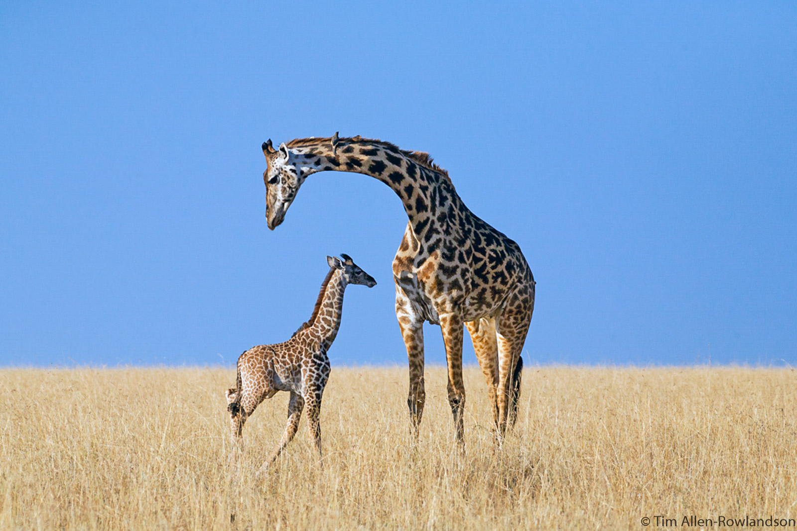 Giraffe mother and calf, Masai Mara