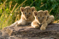 These two cubs had emerged fro their concealed den and were relaxing on a warm rock in the late afternoon, patiently waiting for their mother to return, Masai Mara