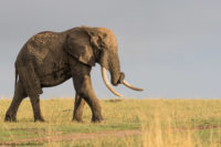 Big tusker in early morning light, Masai Mara