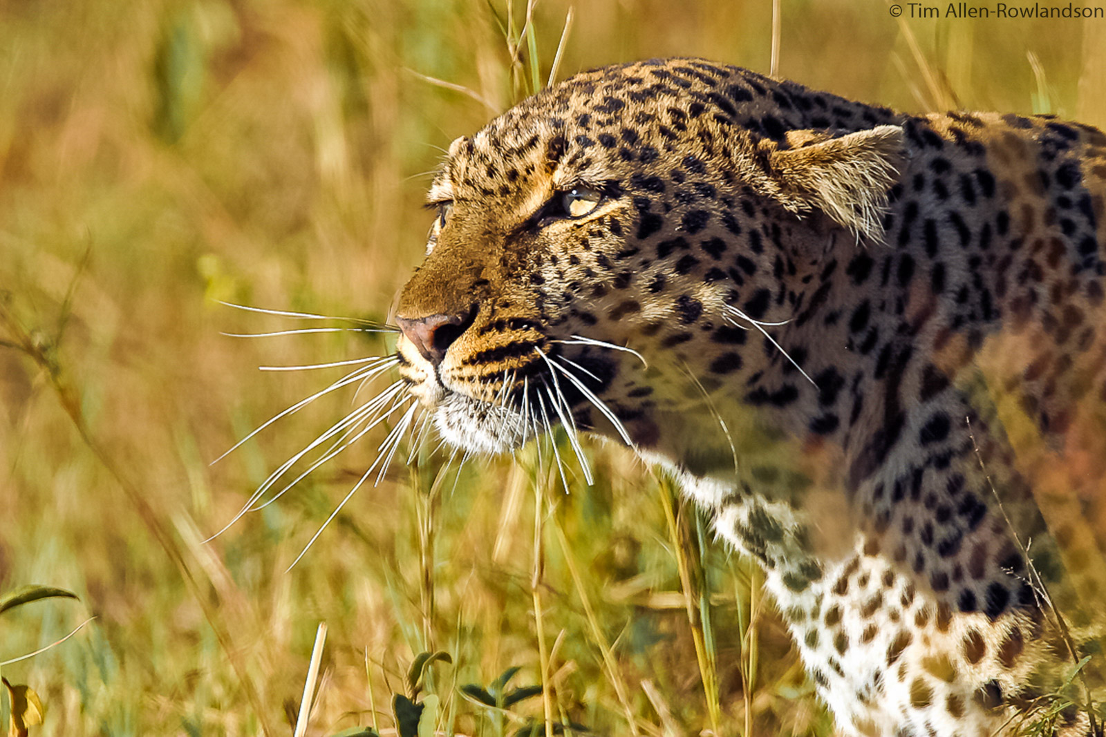 Female leopard in full hunting mode, with flattened ears and low profile, cautiously checking on a young wildebeest she was stalkin