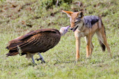 Interaction between a hooded vulture and a black-backed jackal, Masai Mara