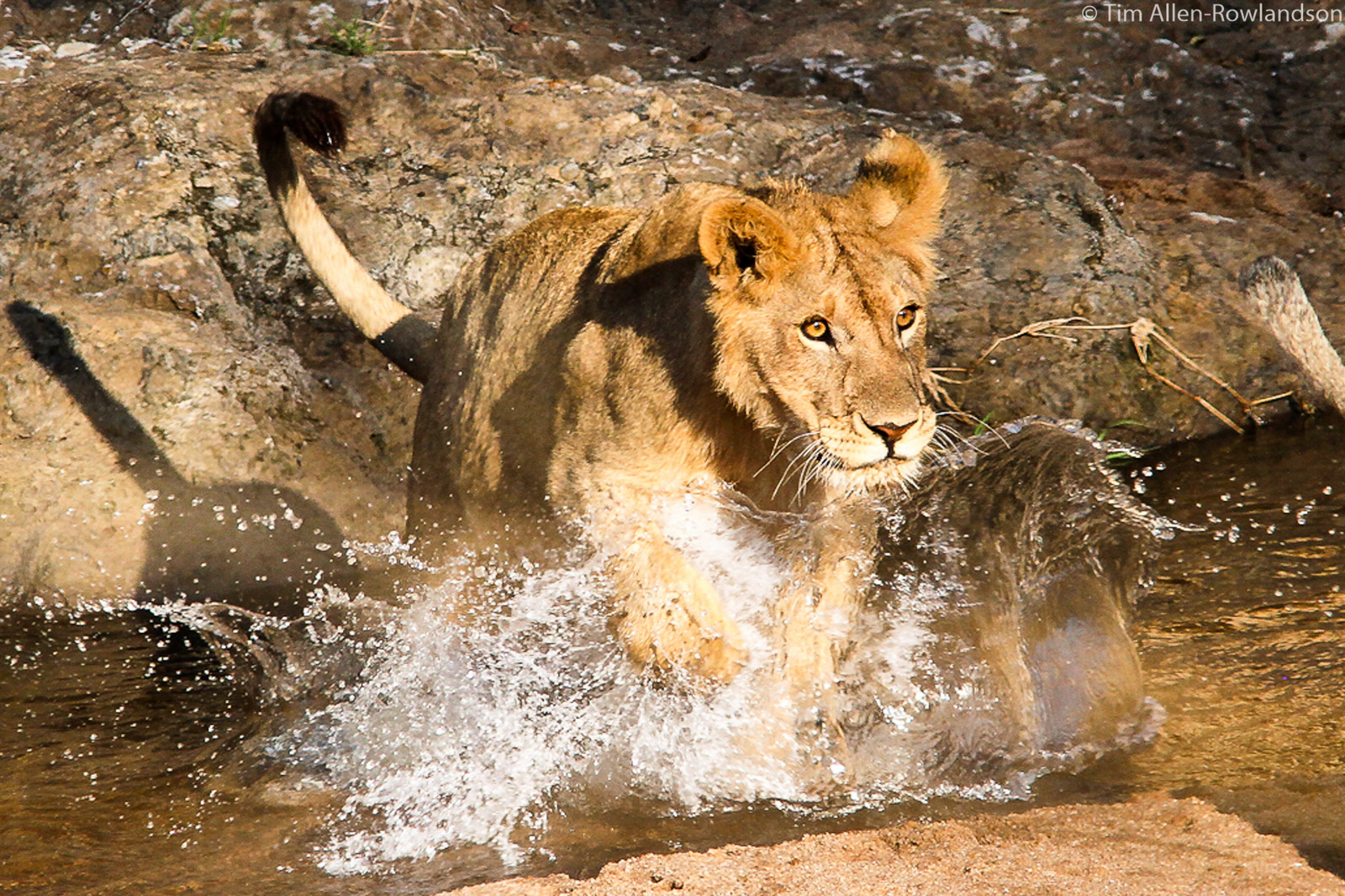 Young male opting for the direct route crossing a shallow river, Masai Mara