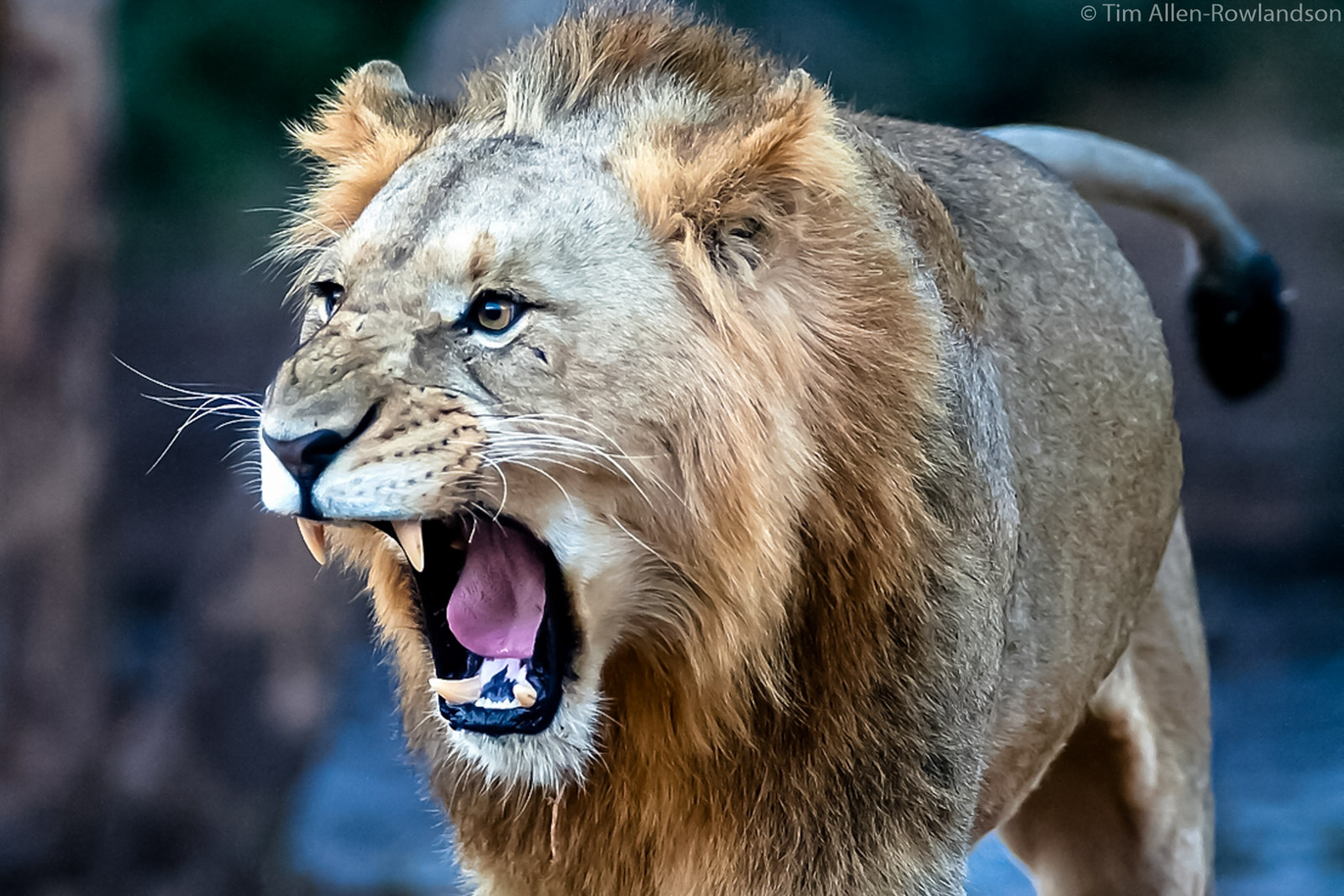 Young adult male lion yawning at twilight