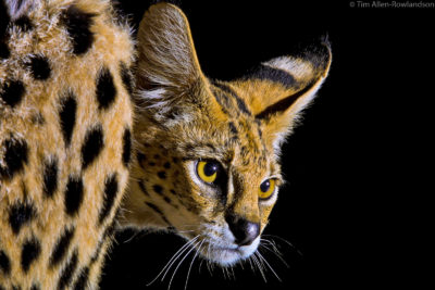 Serval at night, Tsavo