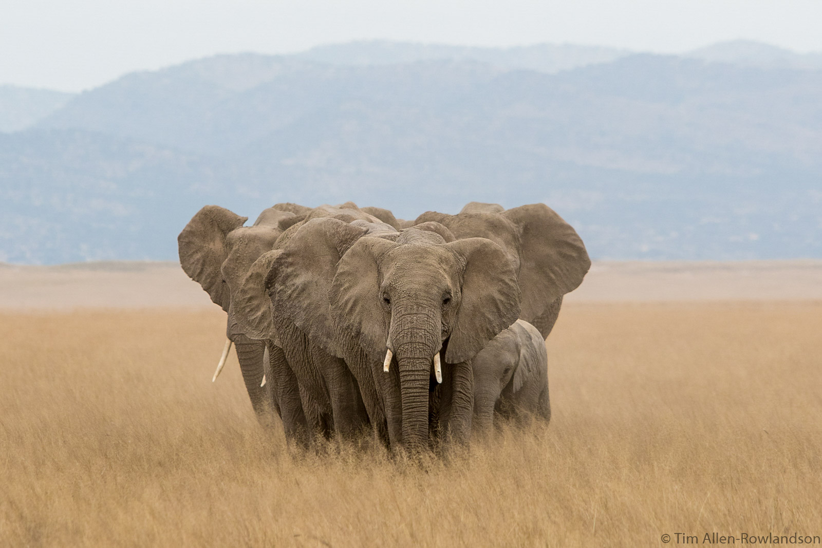 A tight herd of elephants heading for water, Amboseli