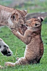 Young cub clinching an older relative, Masai Mara