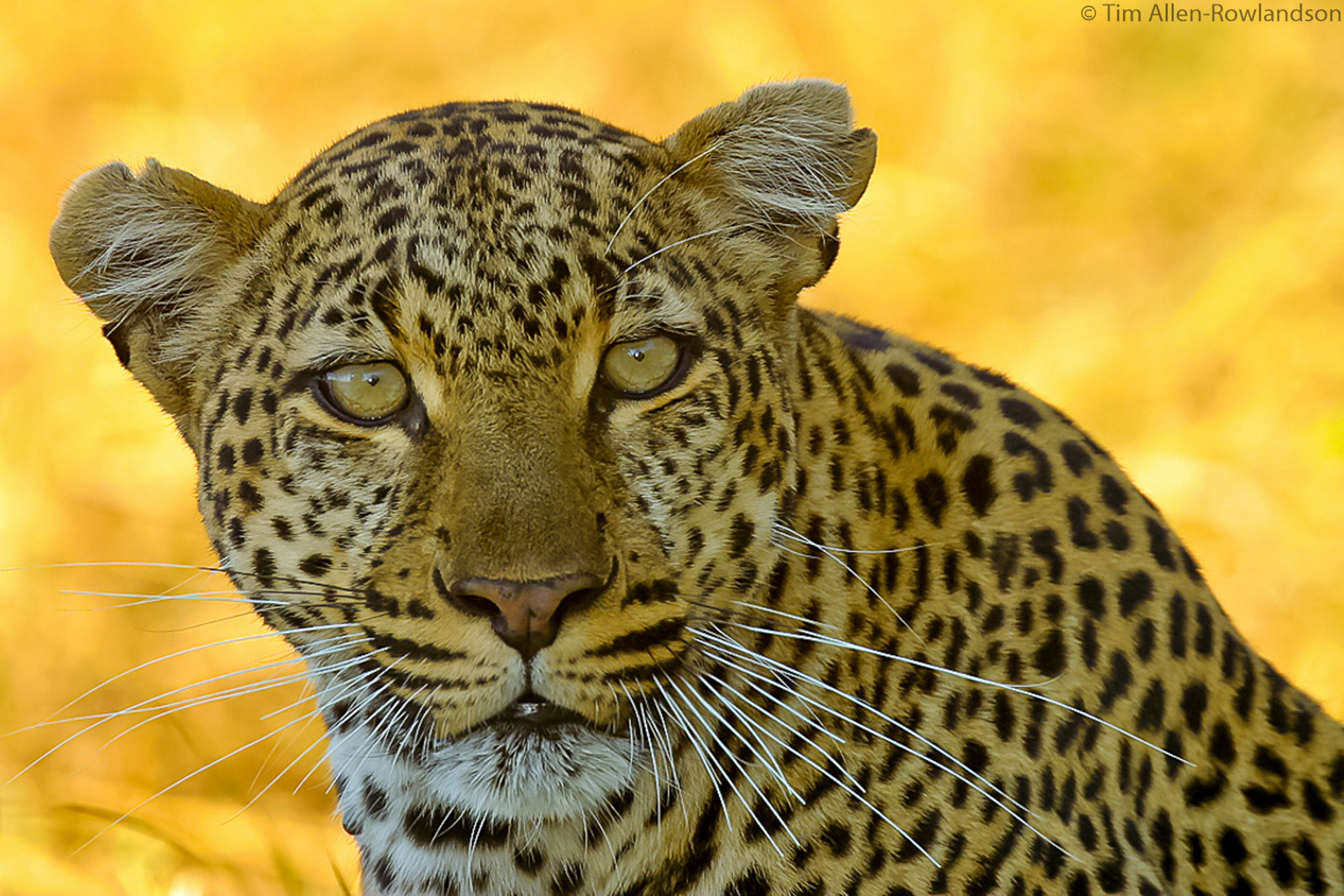 Female leopard, late afternoon, Masai Mara